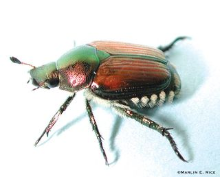 Japanese_beetle_adult